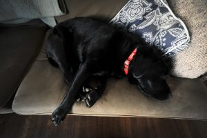 Black Lab bum