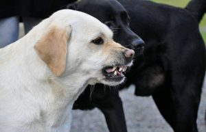 Interesting FAQ - Labs great Guards