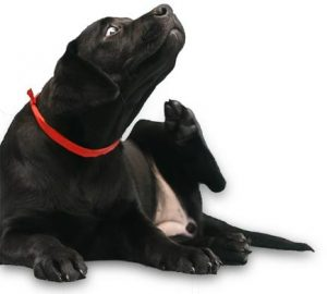 Black Lab FAQ - ichy dog