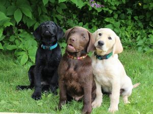 black lab color faqs